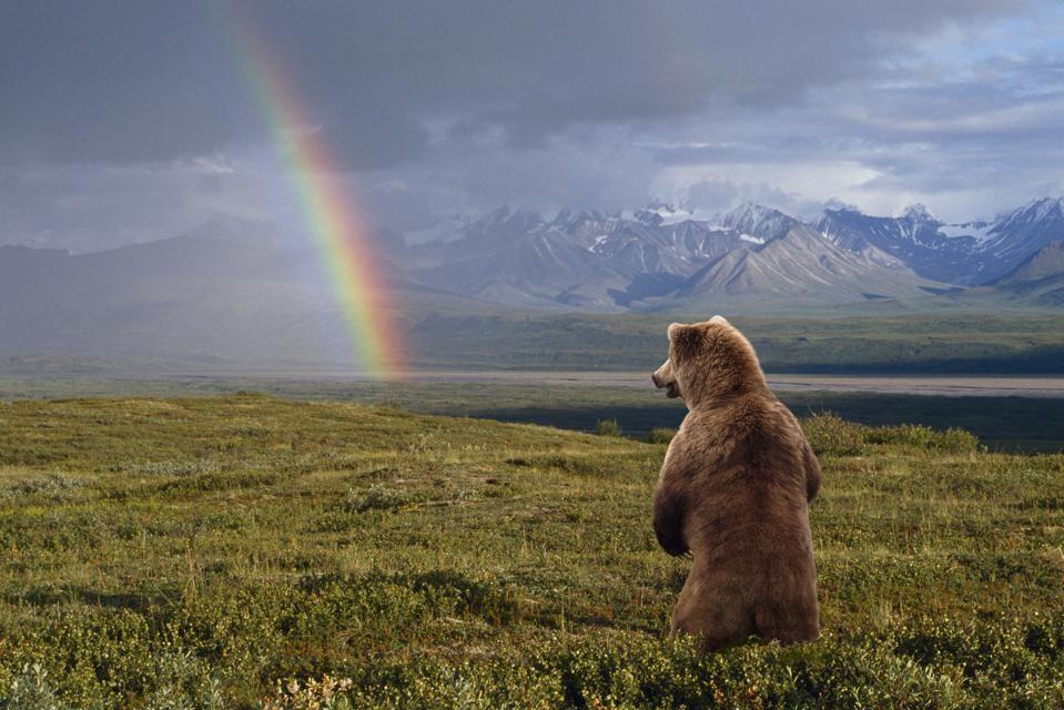 USA, Alaska, Denali National Park, grizzly bear (Ursus arctos) standing, looking at rainbow, rear view